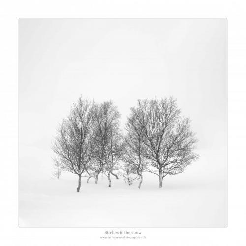 Mark Reeves Birches in the snow
